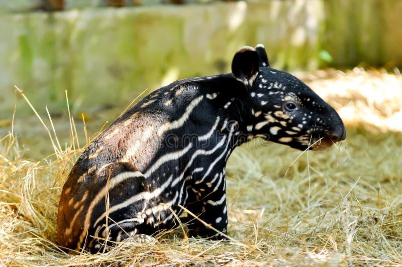 Tapir malais de bébé photo libre de droits