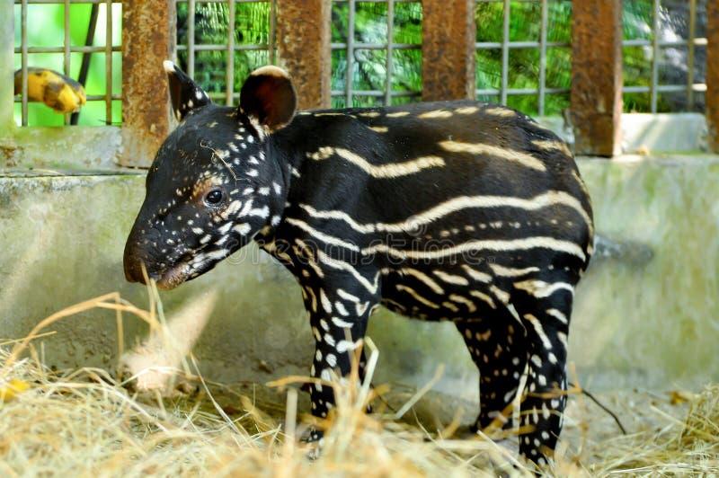 Tapir malais de bébé image libre de droits