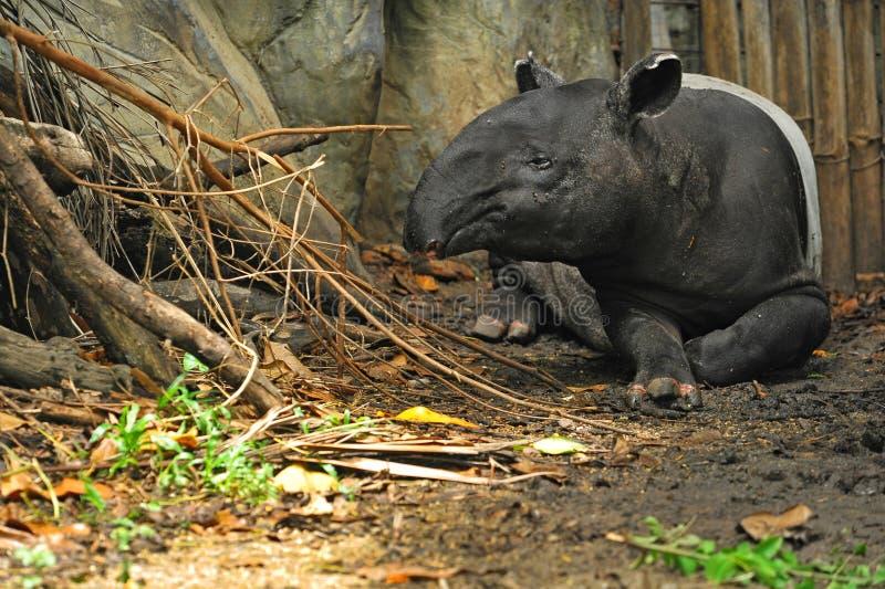 Tapir malais (indicus de tapirus) photographie stock libre de droits