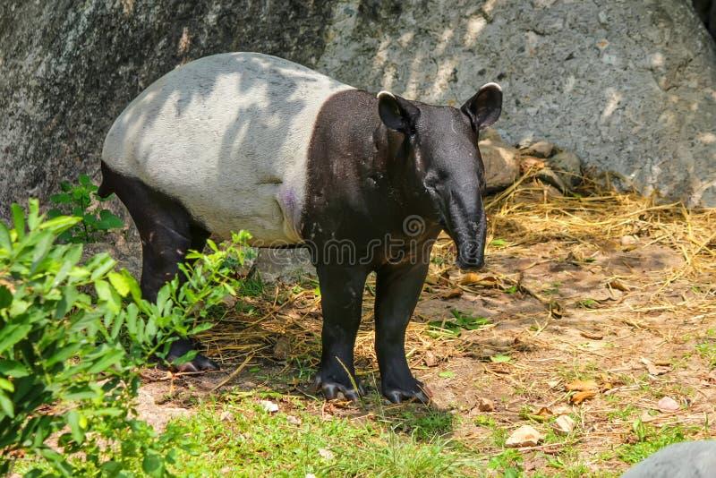 Tapir malais ou indicus de Tapirus dans le zoo photographie stock