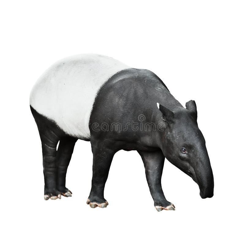 Tapir malayo aislado en el fondo blanco foto de archivo libre de regalías