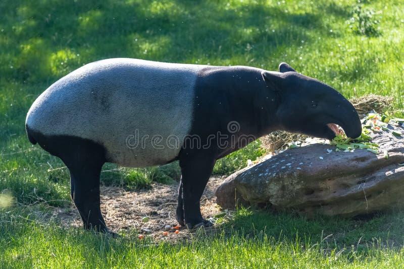 Tapir malayo imágenes de archivo libres de regalías