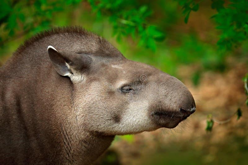 Tapir in nature. South American Tapir, Tapirus terrestris, in green vegetation. Close-up portrait of rare animal from Brazil. Wild. Nature stock photo
