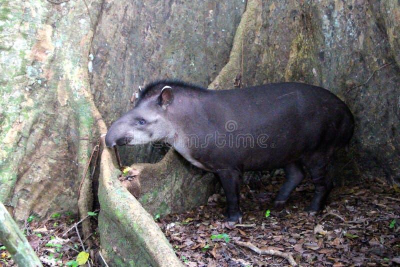 Tapir no parque nacional de Madidi imagem de stock royalty free