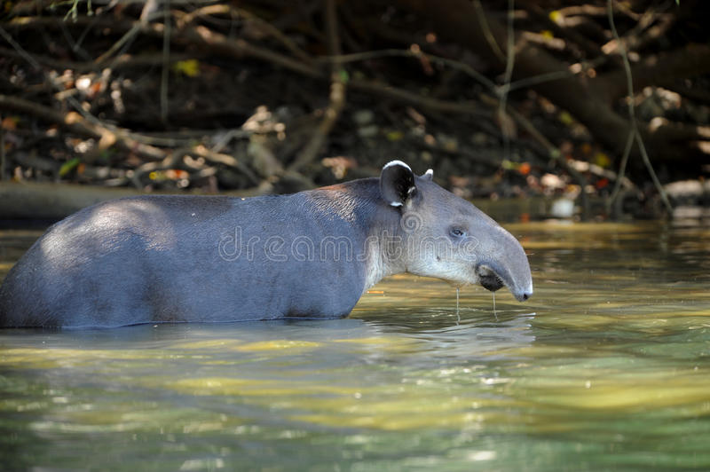 Tapir no rio, parque nacional do corcovado, Costa-Rica foto de stock royalty free