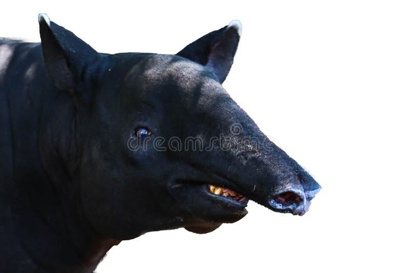 Tapir op witte achtergrond wordt geïsoleerd die royalty-vrije stock foto