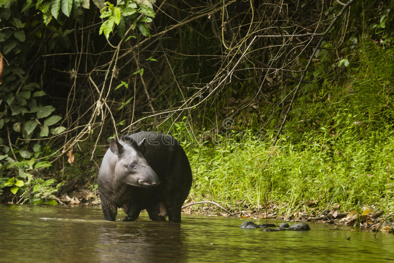A tapir standing in water stock photo