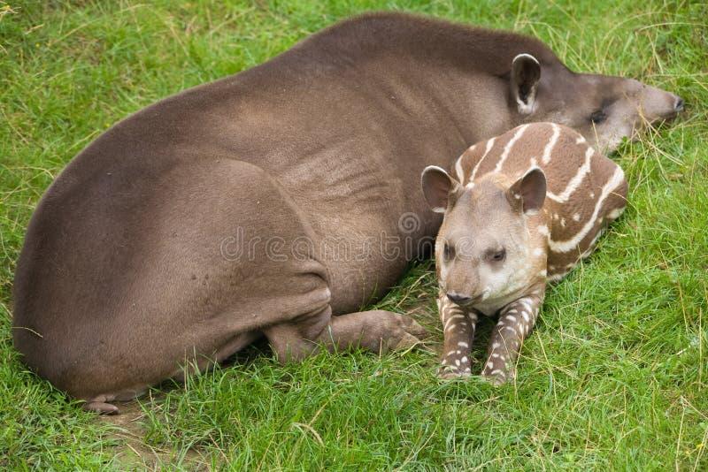 Tapir sud-américain image libre de droits