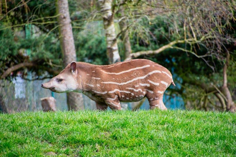 Tapir sud-américain de bébé photos stock
