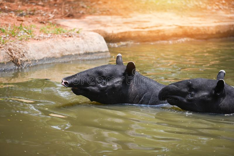 Tapir swimming on the water in the wildlife sanctuary - Tapirus terrestris or Malayan Tapirus Indicus. Tapir swimming on the water in the wildlife sanctuary / stock photos