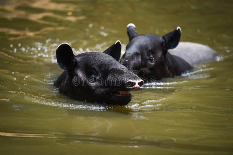 Tapir swimming on the water in the wildlife sanctuary / Tapirus terrestris or Malayan Tapirus Indicus. Selective focus stock images