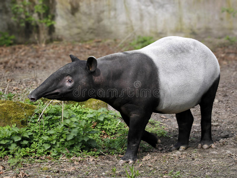 Tapir - Tapirus indicus. Tapir (Tapirus indicus) walking in nature, Full Length stock images