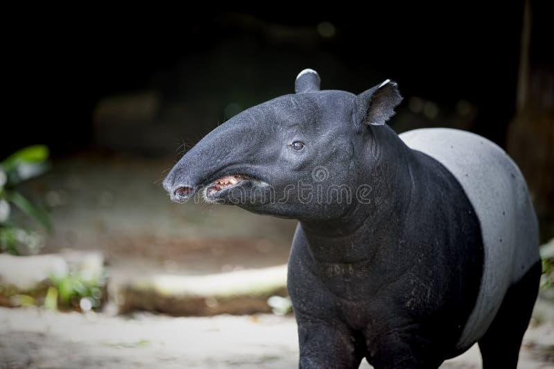 Tapiro asiatico sudorientale fotografia stock