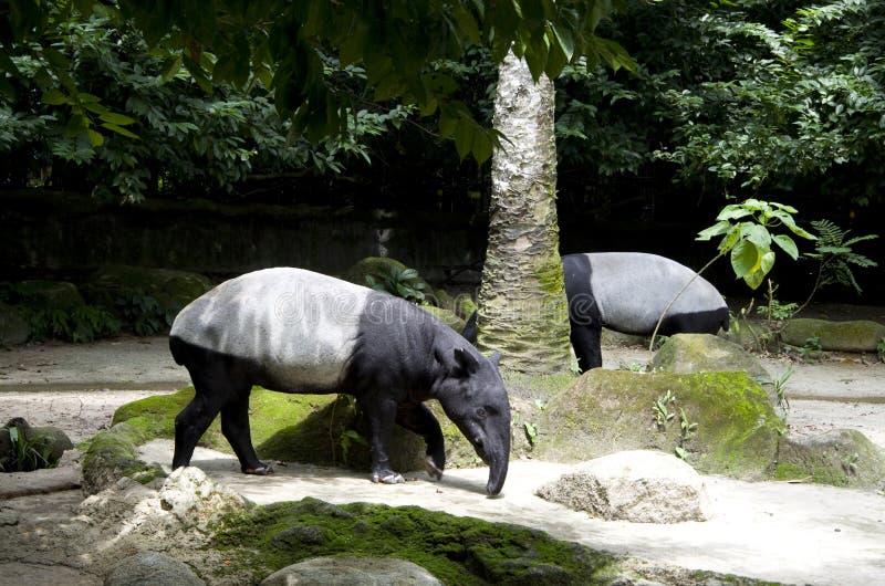 Tapirs in singapore zoo stock photo