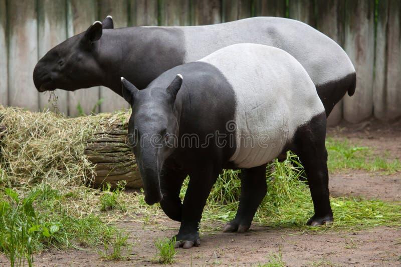 tapirus malayan tapir indicus стоковое фото rf