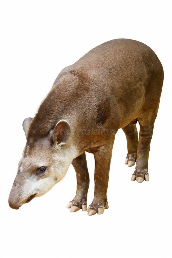tapirus terrestris obraz royalty free