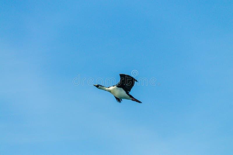 Tapis à longs poils antarctique - bransfieldensis- de Leucocarbo en vol au-dessus de l'Océan Atlantique du sud photo libre de droits