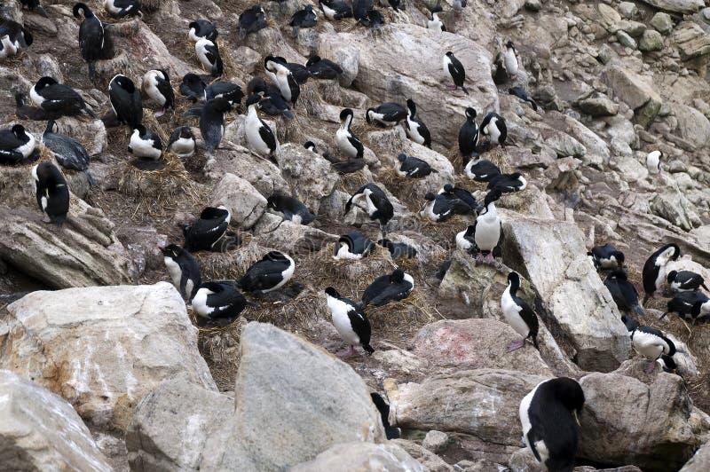 Tapis à longs poils d'emboîtement et pingouins du sud de rockhopper dans la colonie de freux images libres de droits