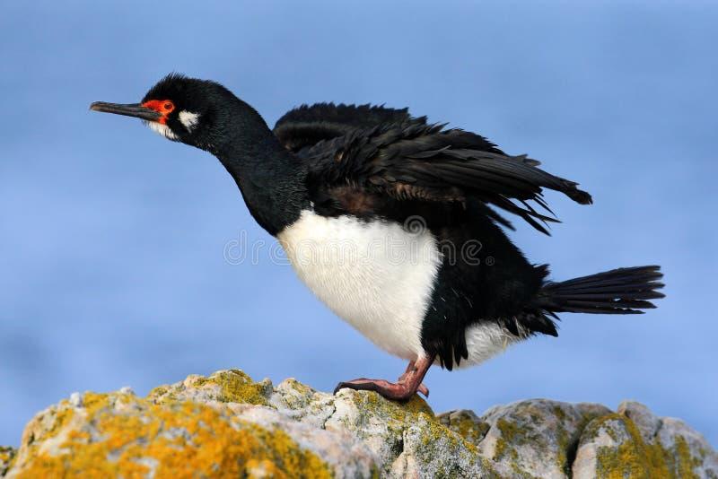 Tapis à longs poils de roche, magellanicus de Phalacrocorax Tapis à longs poils noire et blanche de roche de cormoran avec la fac images stock