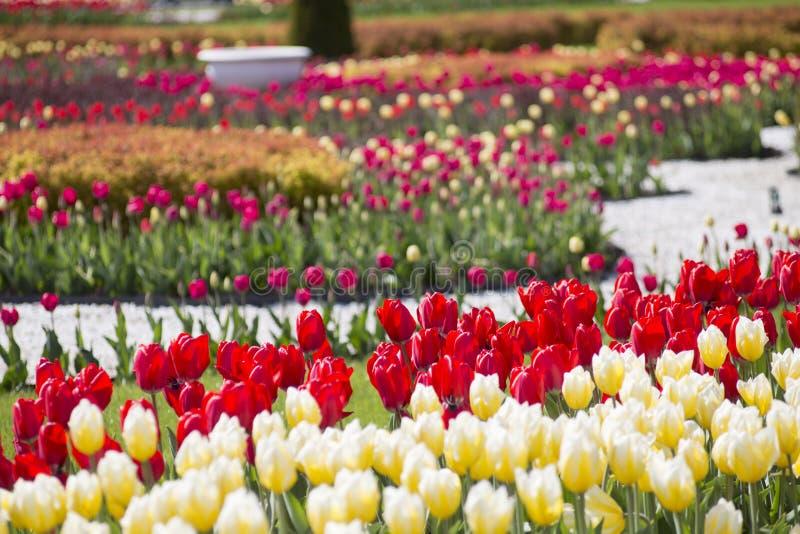 Tapis de fleur des tulipes photos libres de droits