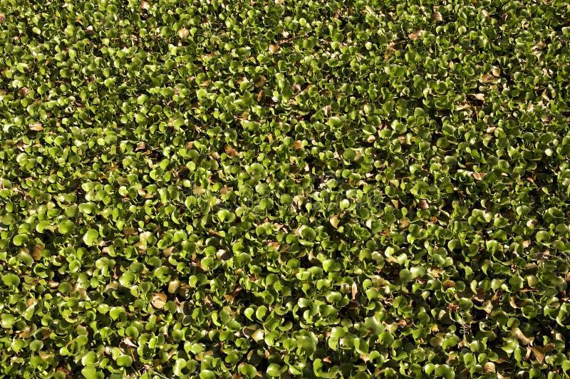 Tapis de jacinthe d'eau photographie stock