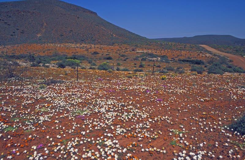 Tapis des fleurs de désert photo stock