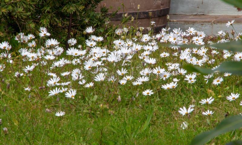 Tapis des marguerites blanches heureuses images libres de droits
