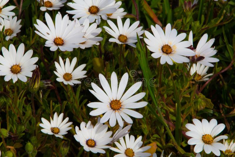 Tapis des marguerites blanches heureuses avec les boutons sunshiny aux centres image libre de droits