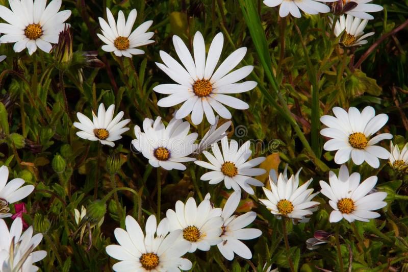 Tapis des marguerites blanches heureuses avec les boutons sunshiny aux centres photo libre de droits