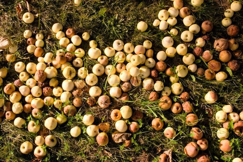 Tapis des pommes putréfiées tombées et se trouvantes sur l'herbe en automne images libres de droits