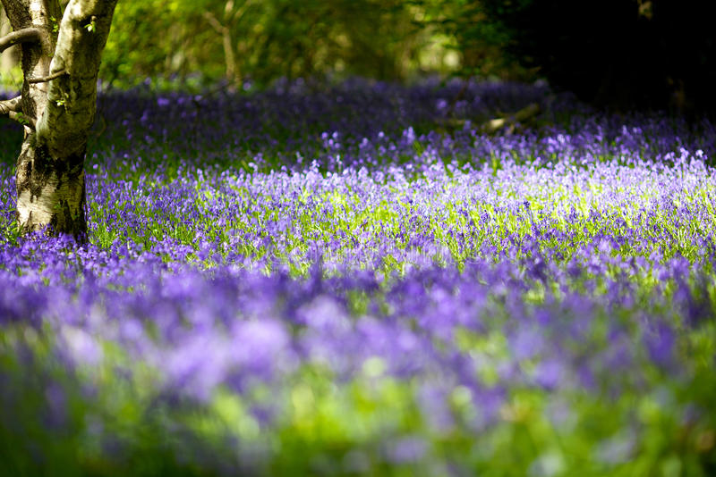Tapis du Bluebell image libre de droits