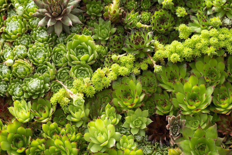 Tapisserie des usines succulentes vertes photo stock