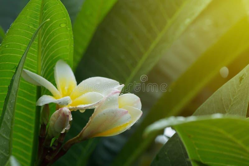 Tappar den tropiska blomman för vit frangipaniplumeria med vatten royaltyfri fotografi