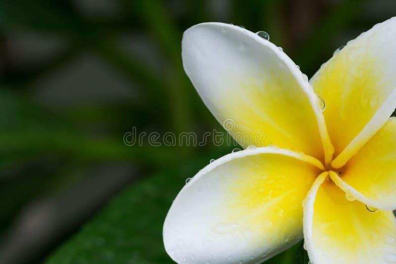 Tappar den tropiska blomman för vit frangipaniplumeria med vatten arkivfoton