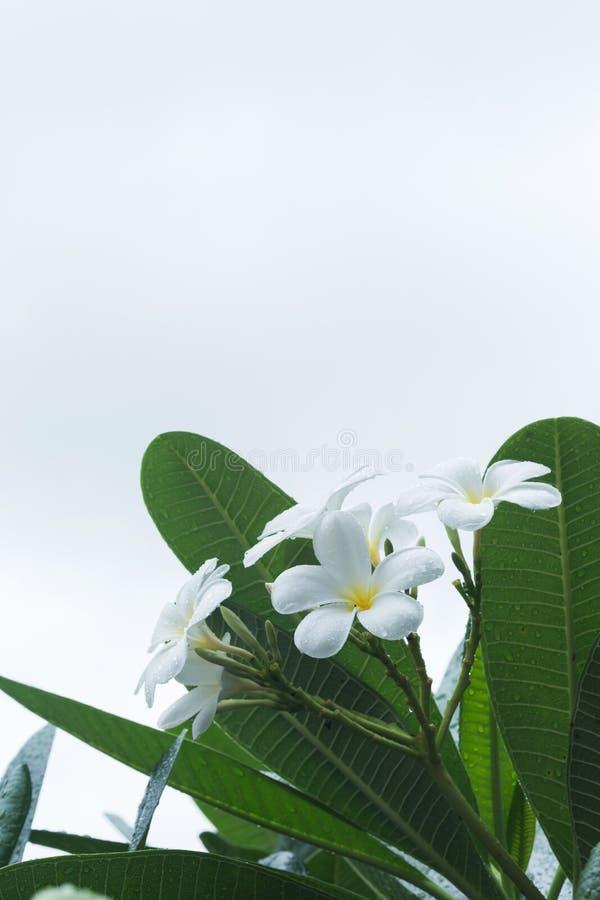 Tappar den tropiska blomman för vit frangipaniplumeria med vatten arkivbild