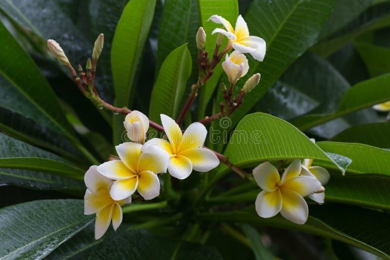 Tappar den tropiska blomman för vit frangipaniplumeria med vatten arkivfoto