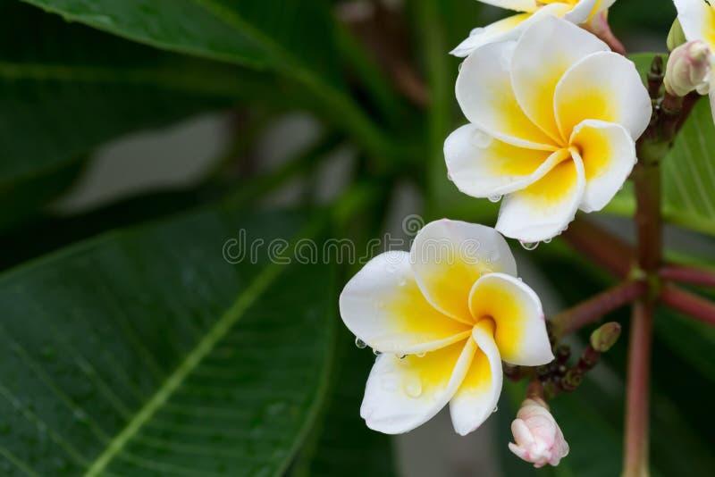 Tappar den tropiska blomman för vit frangipaniplumeria med vatten fotografering för bildbyråer