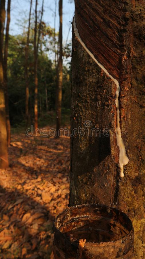 Tappende latex van een rubberboom stock afbeelding