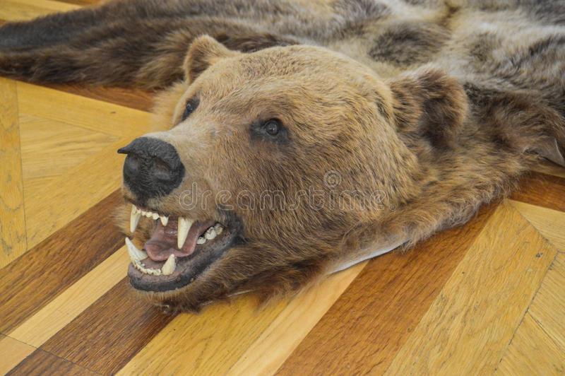 Tappeto con un trofeo cercante naturale, spaventapasseri, pelle di un orso bruno marrone selvaggio dell'orso grigio con le zanne  immagine stock