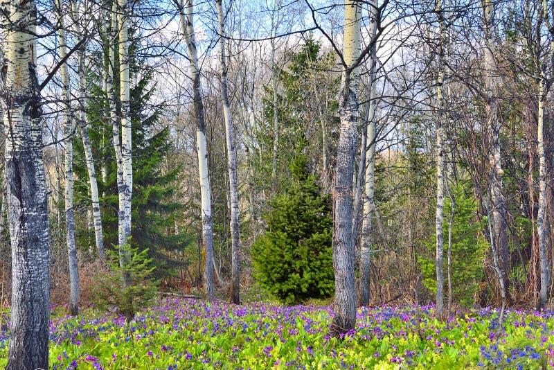 Tappeto dei fiori selvaggi della primavera nella foresta immagini stock