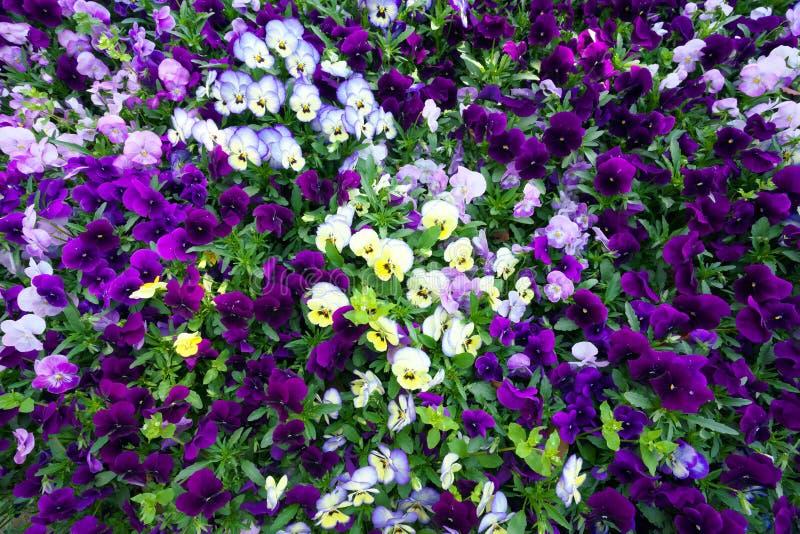 Tappeto del fiore delle viole del pensiero immagini stock