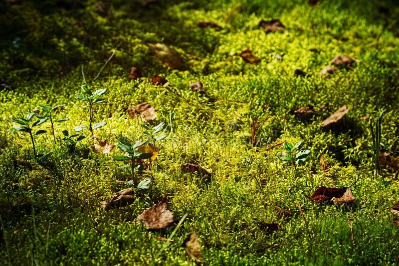 Tappeto del muschio con le piante nella foresta di autunno fotografia stock libera da diritti