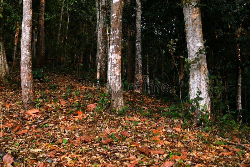 Tappeto della foglia di Brown in foresta con la posizione verticale dei tronchi di albero immagine stock libera da diritti