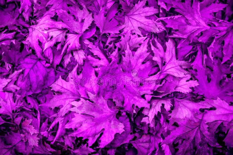 Tappeto delle foglie ultraviolette fotografie stock libere da diritti