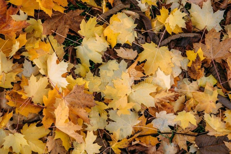 Tappeto spesso delle foglie di acero cadute Foglie di acero gialle luminose sulla terra, primo piano concetto del fondo fotografie stock