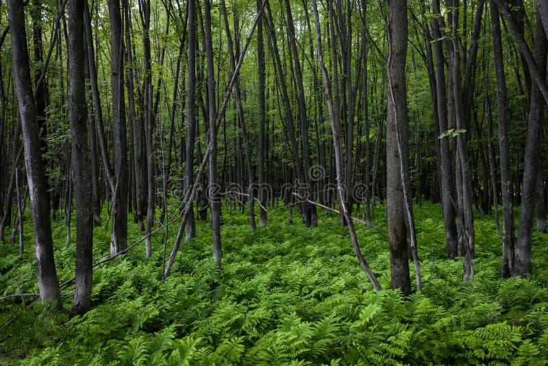 Tappeto verde della felce in una foresta pacifica fotografie stock