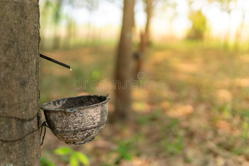 Tapping latex rubber tree royalty free stock images