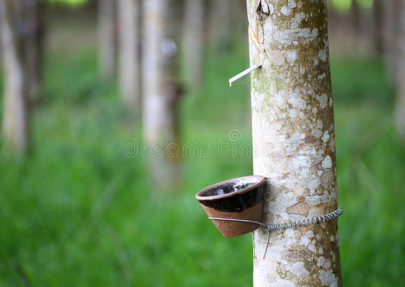 Download Tapping Latex From A Rubber Tree Stock Image - Image: 32236221