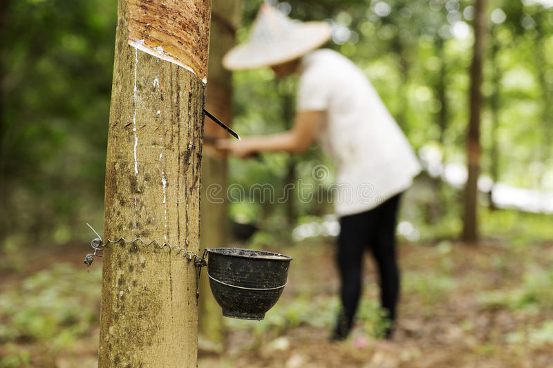 Tapping latex from the rubber tree royalty free stock photography