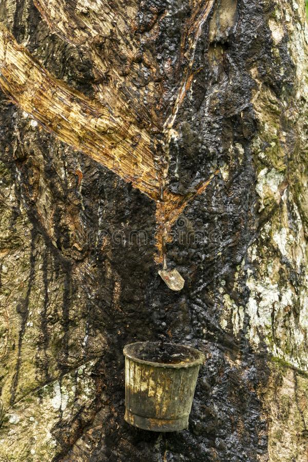 Tapping sap rubber latex from the rubber tree stock images